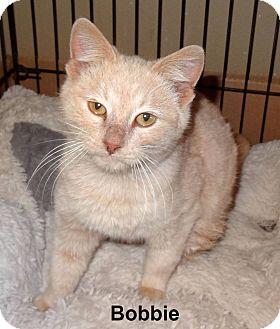 Domestic Shorthair Cat for adoption in Bentonville, Arkansas - Bobbie