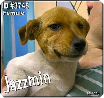 Rat Terrier Mix Dog for adoption in Corinth, Mississippi - jazzmin