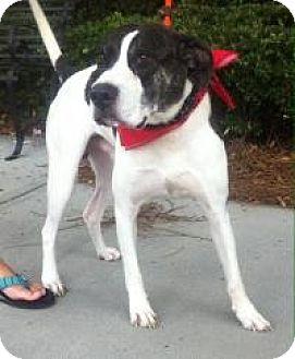 Labrador Retriever/Pointer Mix Dog for adoption in Mount Pleasant, South Carolina - Texas