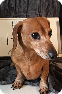 Dachshund Dog for adoption in Marcellus, Michigan - Happy Harry