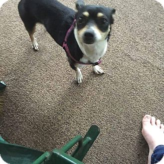 Chihuahua Mix Dog for adoption in Crestview, Florida - Abby
