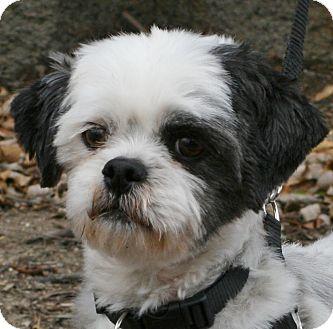 Shih Tzu Mix Dog for adoption in Carlsbad, California - Ziggy