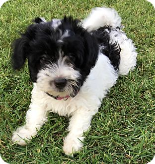Havanese Puppy for adoption in Fairview Heights, Illinois - Crumpet