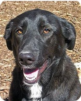 Labrador Retriever Mix Dog for adoption in Island Heights, New Jersey - Penny