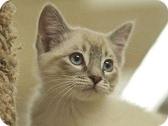 Siamese Kitten for adoption in Great Falls, Montana - Ariel