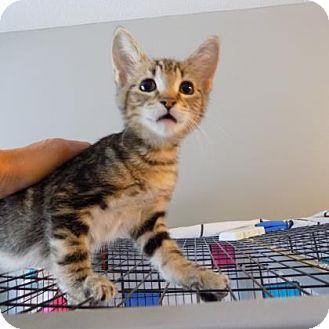 Domestic Shorthair Kitten for adoption in Edwardsville, Illinois - Suzi