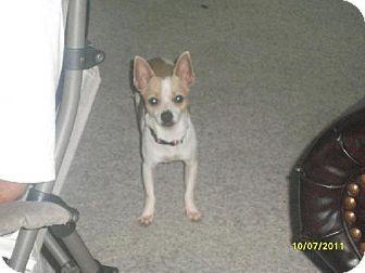 Chihuahua Dog for adoption in DeLand, Florida - Skippy