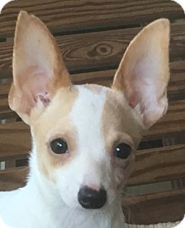 Chihuahua Mix Puppy for adoption in Hagerstown, Maryland - Yota