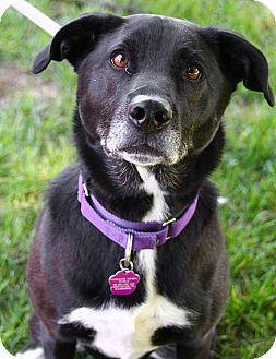 Labrador Retriever/Collie Mix Dog for adoption in Downingtown, Pennsylvania - Oreo