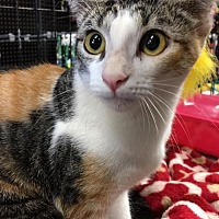 Calico Cat for adoption in Dallas, Texas - Poppy