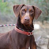 Doberman Pinscher Dog for adoption in Fillmore, California - Diesel