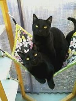 Domestic Shorthair Cat for adoption in Calimesa, California - Prince