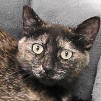 Adopt A Pet :: Lily - Redondo Beach, CA
