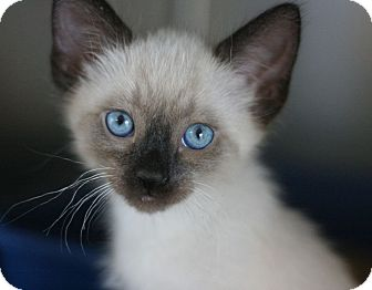 Siamese Kitten for adoption in Canoga Park, California - Thai
