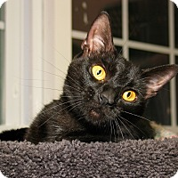 Domestic Shorthair Cat for adoption in Milford, Massachusetts - Josephine