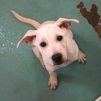 Retriever (Unknown Type) Mix Dog for adoption in Chattanooga, Tennessee - Wilbur