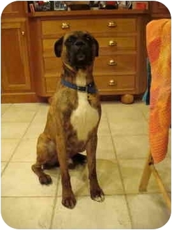 Boxer Dog for adoption in Middlesex, New Jersey - Dutch