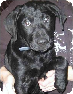 Labrador Retriever Mix Puppy for adoption in Naperville, Illinois - Jasper