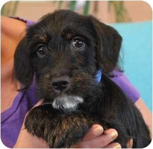 Cocker Spaniel/Scottie, Scottish Terrier Mix Puppy for adoption in Las Vegas, Nevada - Little Eric