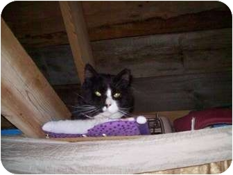 Domestic Shorthair Cat for adoption in Portland, Maine - Carl