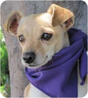 Terrier (Unknown Type, Small)/Chihuahua Mix Dog for adoption in San Diego, California - Nadine