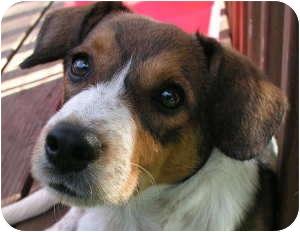 Beagle/Australian Cattle Dog Mix Puppy for adoption in Rosemount, Minnesota - Cooter