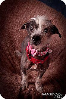 Xoloitzcuintle/Mexican Hairless Mix Dog for adoption in Bridgeton, Missouri - Lexi-Adoption pending