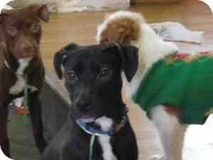 American Pit Bull Terrier Mix Dog for adoption in Warren, Michigan - Blackie