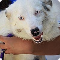 Adopt A Pet :: Brisbane - mini aussie! - Phoenix, AZ