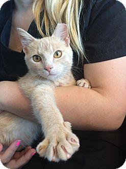 Manx Kitten for adoption in Madison, Alabama - FREEMAN