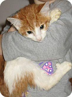 Domestic Shorthair Kitten for adoption in Queensbury, New York - Clementine