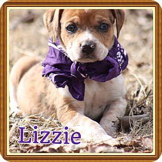 Labrador Retriever/Blue Heeler Mix Puppy for adoption in Cranford, New Jersey - Lizzie