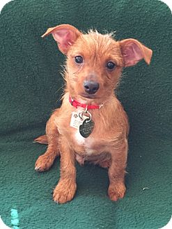 Terrier (Unknown Type, Small)/Dachshund Mix Dog for adoption in Pasadena, California - CHEWY