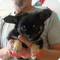 Adopt A Pet :: Mollie - Greencastle, NC