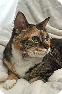 Domestic Shorthair Cat for adoption in South Haven, Michigan - Jasmine