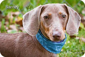Dachshund Dog for adoption in Lisbon, Iowa - Barney