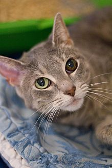 Domestic Shorthair Cat for adoption in Grayslake, Illinois - Drama
