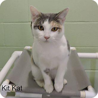 Domestic Shorthair Cat for adoption in Slidell, Louisiana - Kit Kat