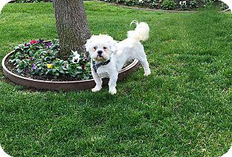 Shih Tzu/Poodle (Miniature) Mix Dog for adoption in Pleasanton, California - Sammy-Adoption Pending