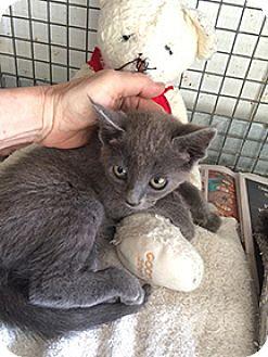 Russian Blue Kitten for adoption in Metairie, Louisiana - Renee