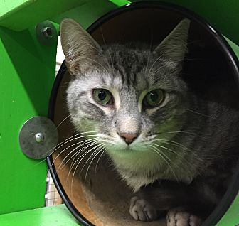 Domestic Shorthair Cat for adoption in Wilmington, Delaware - Alfonso