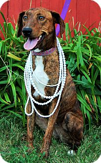 Plott Hound/Greyhound Mix Dog for adoption in Minot, North Dakota - Taylor