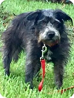 Schnauzer (Standard)/Tibetan Terrier Mix Dog for adoption in Boulder, Colorado - Sheba-Adoption Pending