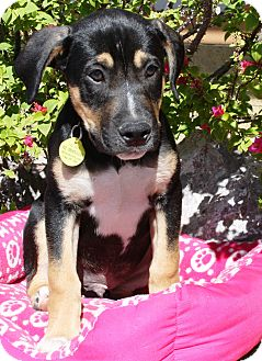 Rottweiler/Shepherd (Unknown Type) Mix Puppy for adoption in Gilbert, Arizona - Roti