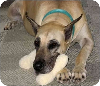 Great Dane Dog for adoption in York, Pennsylvania - ANNIE