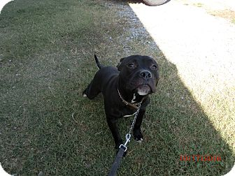 American Staffordshire Terrier Mix Puppy for adoption in MC KENZIE, Tennessee - Sox's II