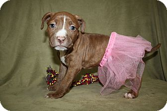 Pit Bull Terrier Puppy for adoption in Tehachapi, California - Bashful