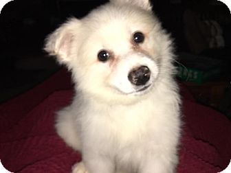American Eskimo Dog Puppy for adoption in Fairview Heights, Illinois - Aspen