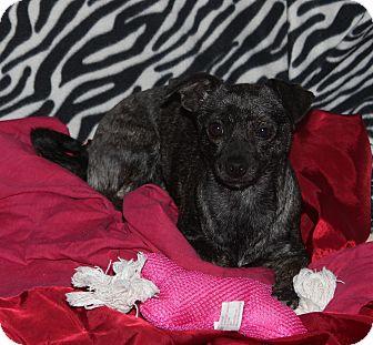 Chihuahua/Dachshund Mix Puppy for adoption in Ridgecrest, California - Precious