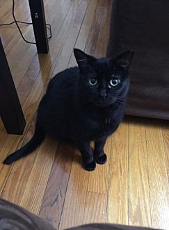 Domestic Shorthair Cat for adoption in Cleveland, Ohio - Ruby